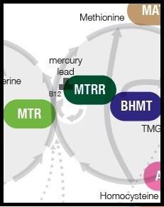 MTRR Riboflavin